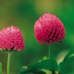 Las 7 mejores hierbas para aumentar el tamaño de los pechos naturalmente